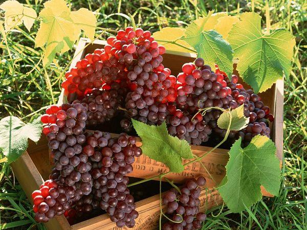 vinogradolechenie-v-krimy