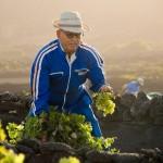 Внесение удобрений — залог высоких и качественных урожаев винограда