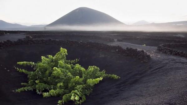 vulkanicheskii-vinograd8