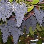 Что такое транспирация винограда?