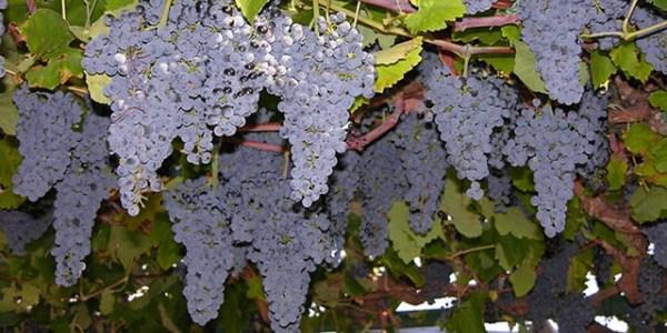 transpiratsiya vinograda