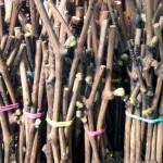 Кильчевание черенков на влагоудерживающих материалах