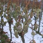 Влияние пониженной температуры на виноградное растение