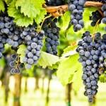 Влияние высокой температуры на виноградное растение