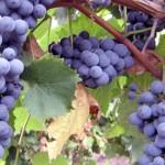 О совместимости и несовместимости винограда со многими растениями