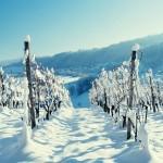 Приемы ухода за виноградом во время зимних морозов
