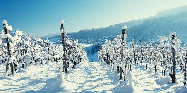 зимой виноградники