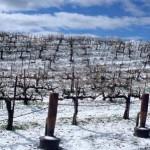 Восстановление виноградников, пострадавших от морозов и заморозков