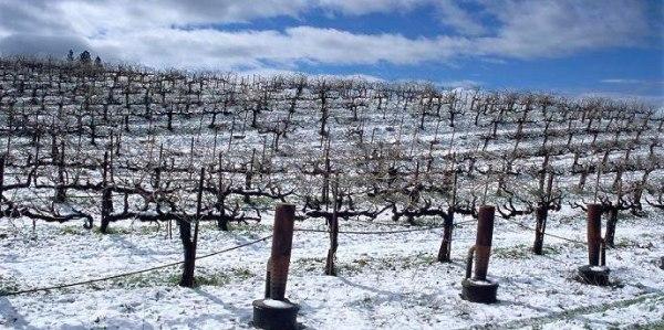 zimoi-vinograd2