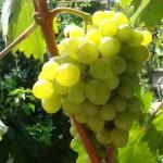Внешние ботанические признаки сортов. Грозди и ягоды