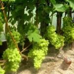 Задачи формирования обрезки винограда