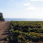 Организация и посадка защитных лесополос для виноградника