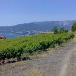 Техника выведения новых сортов винограда