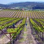 Районирование сортов винограда в Крыму