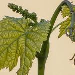 Зеленые операции. Чеканка винограда