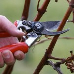 Теоретические основы обрезки винограда