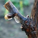 Март — лучшая пора обрезки винограда