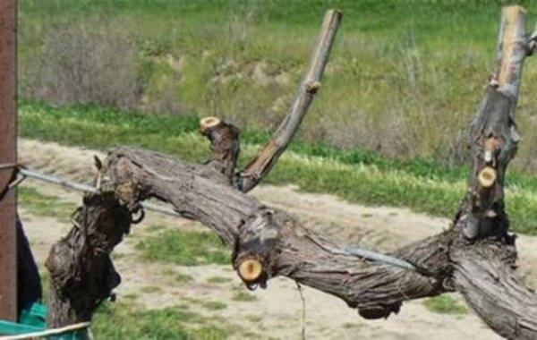 На фото: обрезка винограда была выполнена роботом.
