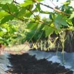 Лучшее время для посадки винограда в Крыму
