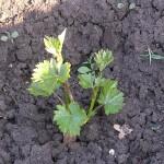 Как вырастить виноградный саженец своими руками