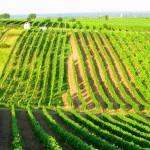 Выбор участка под закладку виноградника. Почвенные условия Крыма