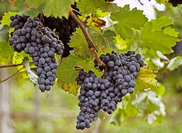 Картинки по запросу строение виноградной грозди
