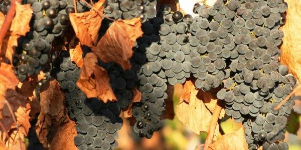 6_vinograd