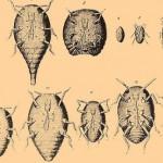 filoxera1