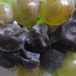 Болезнь винограда — черная гниль
