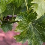 Формирование виноградных кустов