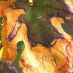 Болезнь винограда — пятнистый некроз