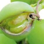 Оидиум — опасная болезнь виноградных насаждений