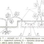 Техника ускоренного размножения новых сортов винограда
