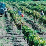 Сбор технических сортов винограда