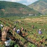 Сбор столовых сортов винограда