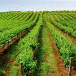 Правительство РФ гарантированно компенсирует до 80% затрат крымских сельхозпроизводителей на закладку новых виноградников.