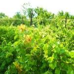 Устройство опоры для виноградных кустов