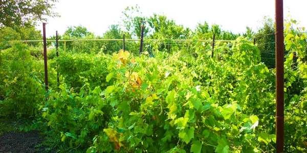 vinograd-dacha1