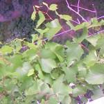 Виноград на балконе многоэтажки