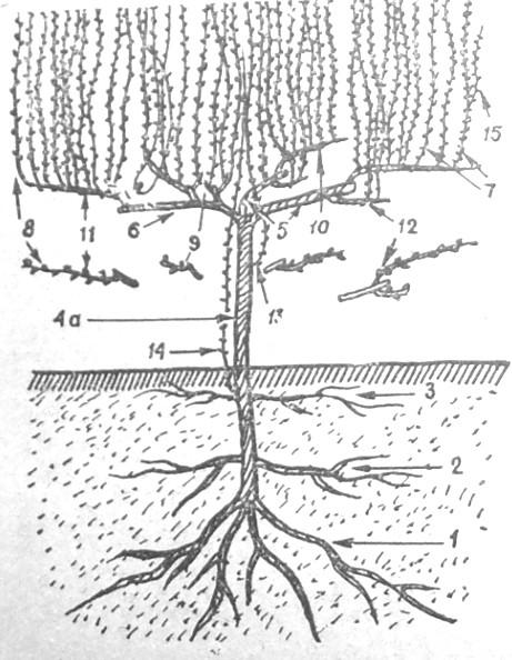 vinograd-stroenie