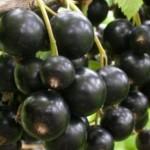 Разведение черной смородины