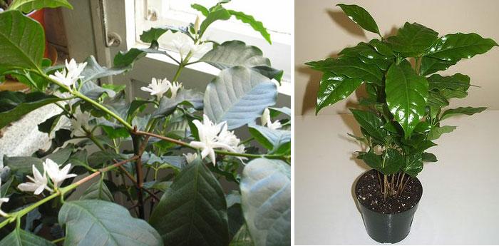 Выращивание кофе арабика дома 74