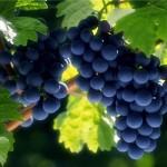 Россия вместе с Крымом побьют прошлогодний рекорд сбора винограда