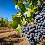 Севастопольские аграрии начали сбор винограда