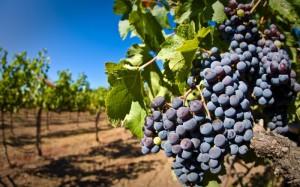 vinograd (1)