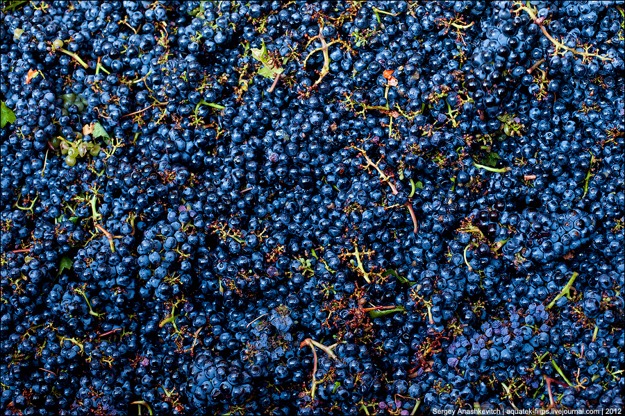 """Primary processing of grapes at the winery """"Golden Beam"""", Crimea. September 2012"""