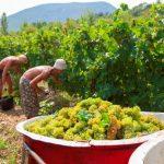 Посадка виноград от А до Я