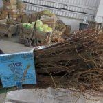 В Крыму уничтожили крупную партию зараженных саженцев винограда, которая пришла из Италии