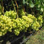 Как выращивать виноград «Аркадия»