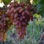 Виноград Преображение: секреты правильной посадки